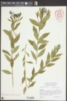 Image of Amsonia orientalis