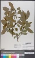 Rhamnus davurica image