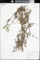 Rafinesquia californica image