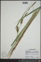 Carex lacustris image