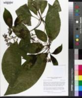 Image of Rauvolfia vomitoria