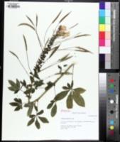 Tarenaya hassleriana image