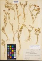 Camissonia kernensis image