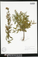 Image of Aster eulae