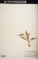 Asplenium fontanum subsp. fontanum image