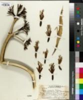 Image of Agave cacozela