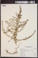 Ludwigia microcarpa image