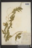 Passiflora incarnata image