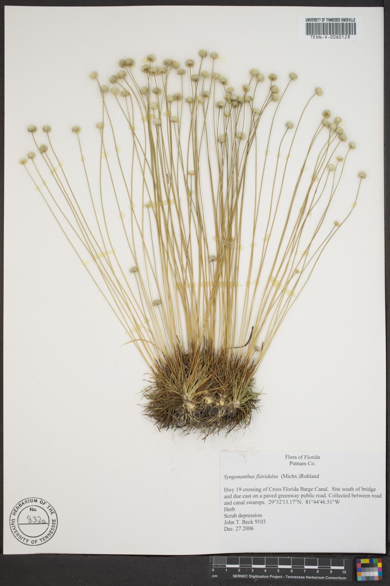 Syngonanthus image