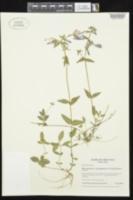 Phlox divaricata subsp. laphamii image