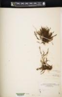 Adenophorus hymenophylloides image