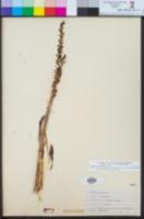 Piperia cooperi image