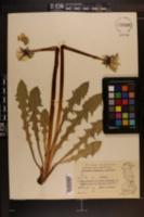 Image of Taraxacum crassipes
