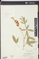 Image of Crotalaria usaramoensis