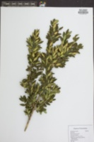 Buxus sempervirens image