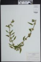 Image of Leonurus marrubiastrum