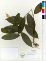 Image of Maianthemum paniculatum