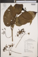 Image of Solanum endopogon