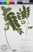 Image of Parietaria pensylvanica