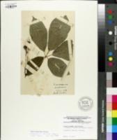 Eleutherococcus senticosus image