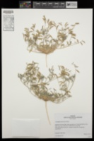 Astragalus acutirostris image