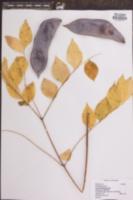 Gymnocladus dioica image