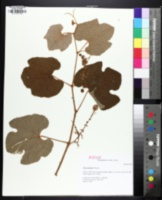 Image of Vitis lincecumii
