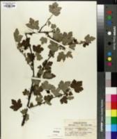 Image of Grossularia cynosbati
