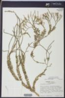 Image of Huperzia myrsinites
