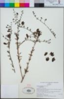 Keckiella antirrhinoides image