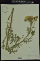 Image of Argemone sanguinea