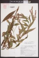 Image of Polygonum densiflorum