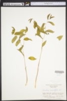 Uvularia sessilifolia image