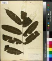 Image of Thelypteris poiteana