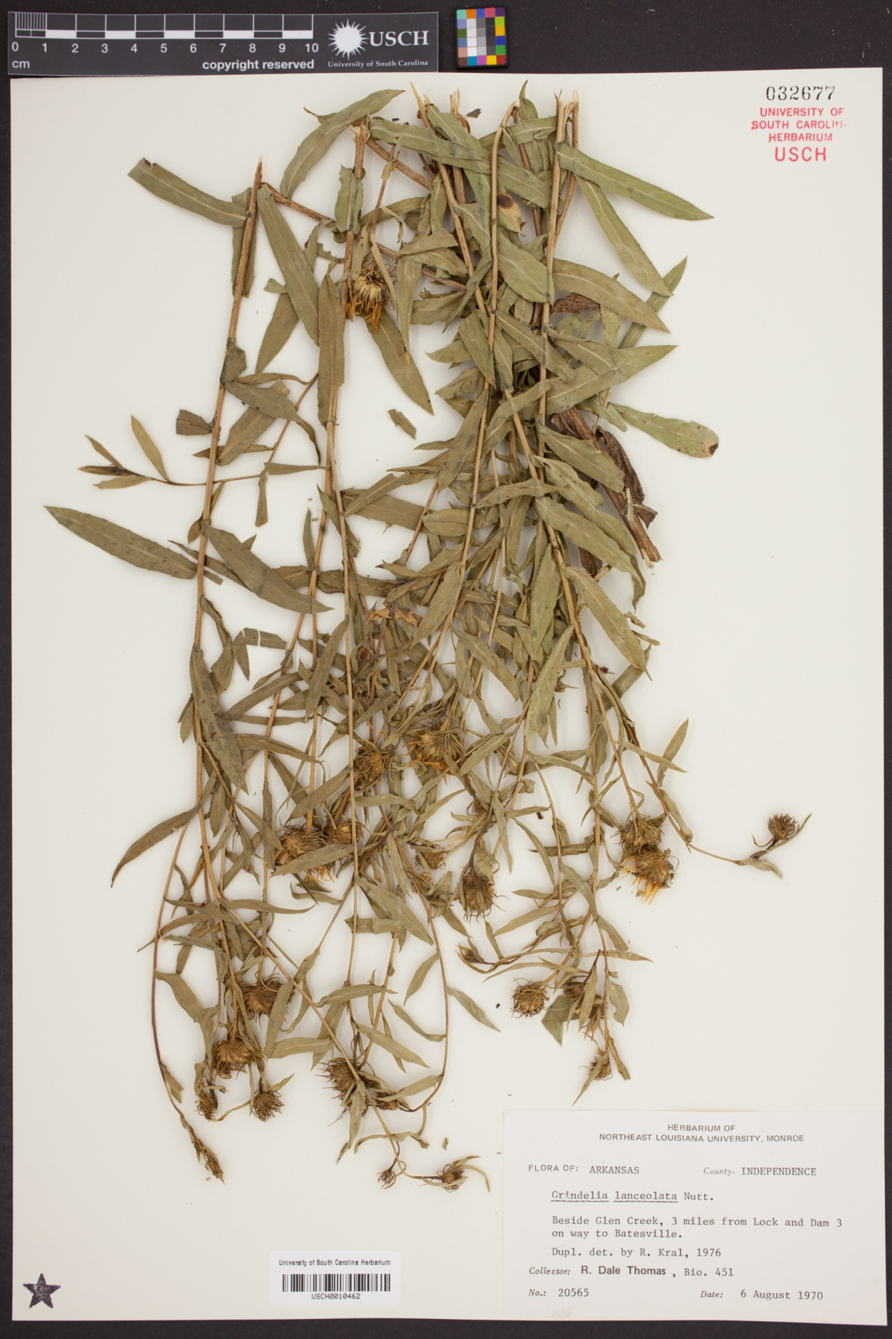 Grindelia lanceolata image