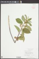 Asclepias tomentosa image