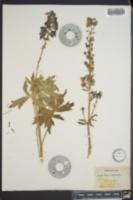 Delphinium scopulorum image