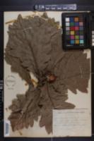 Quercus dentata image