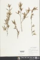 Image of Ernodea litoralis