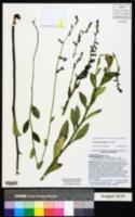 Lobelia georgiana image