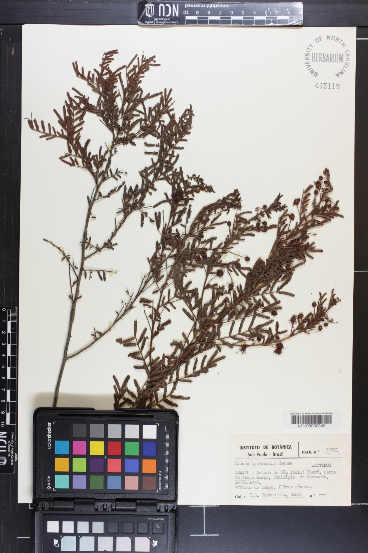 Mimosa iperoensis image
