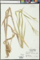 Paspalum setaceum image