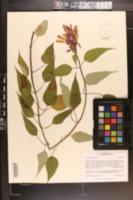 Image of Salvia puberula