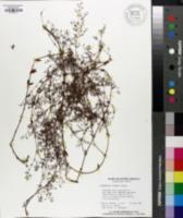 Paronychia riparia image