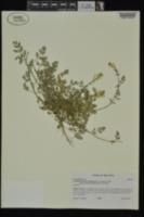 Corydalis micrantha image