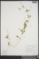 Cardiospermum halicacabum image