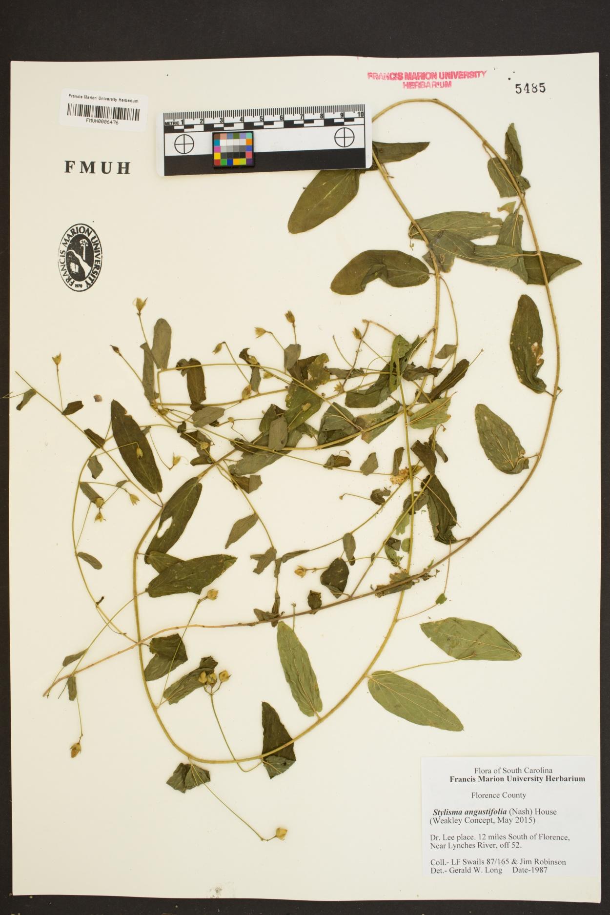 Stylisma patens ssp. angustifolia image
