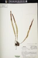 Pleopeltis mexicana image