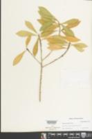 Image of Ditta myricoides