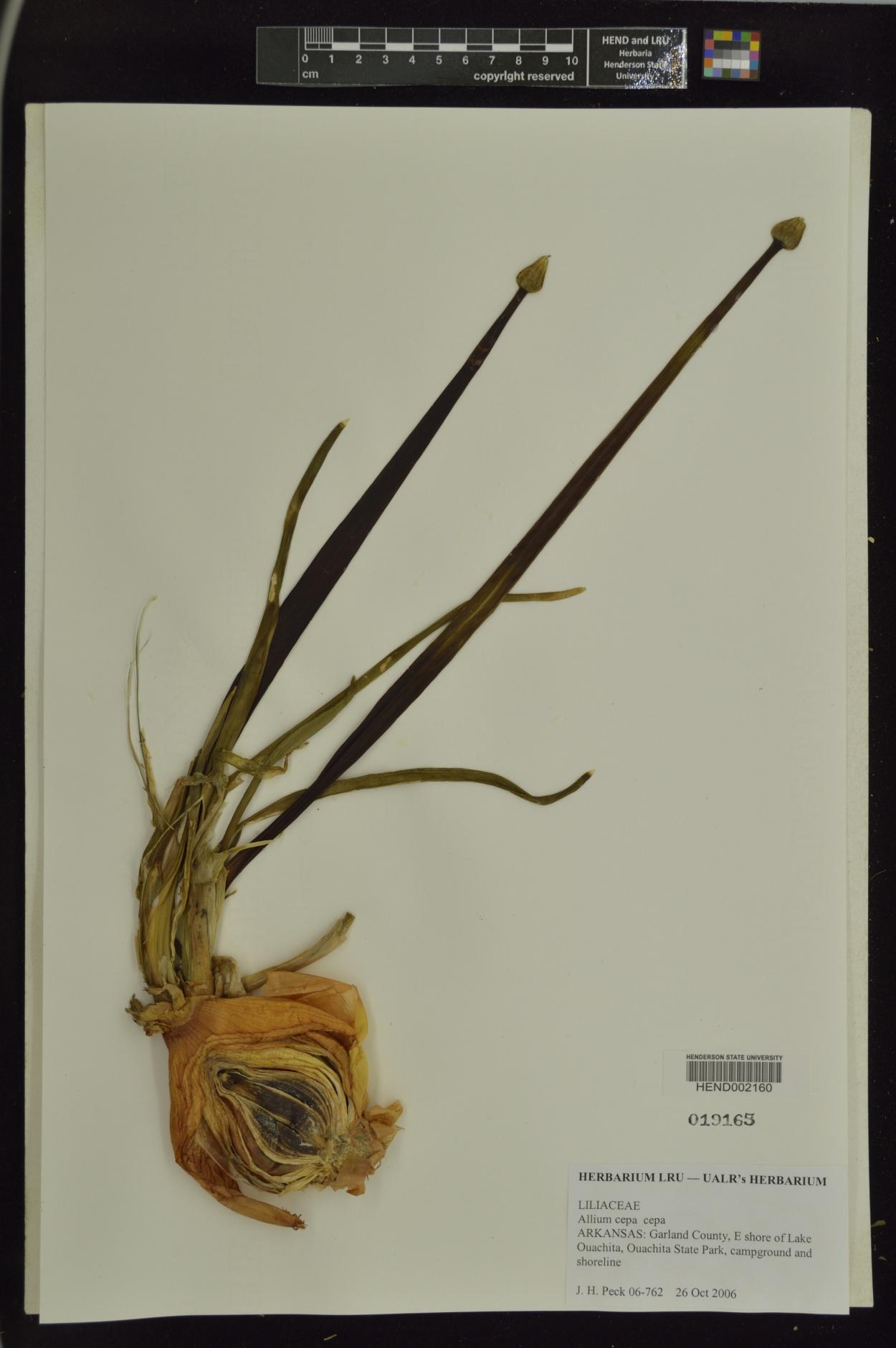 Allium cepa var. cepa image
